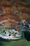 Green sea turtle submerging head in the water Royalty Free Stock Photos