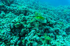 Green sea turtle with sunburst in background under water Royalty Free Stock Photo