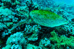 Green sea turtle with sunburst in background under water Stock Photography