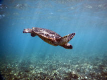 Green Sea Turtle Suspended in the blue Stock Images