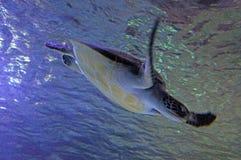 Green sea turtle swim underwater royalty free stock photos