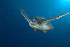 Green sea turtle swimming Stock Photo