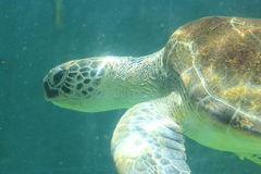 Green sea turtle swimming Royalty Free Stock Photography