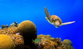 Green Sea Turtle. Swimming along colorful tropical reef stock photos