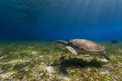 Green sea turtle swimming along ocean bed foraging for food Royalty Free Stock Photography