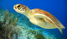 Green Sea Turtle Stock Photography