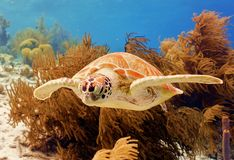 Green Sea Turtle. A Green Turtle swimming along the reef stock photos