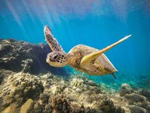Green Sea Turtle Swimming with Arms Up Maui Hawaii. This Green Sea Turtle is in Maui - Hawaii. He is swimming with his arms up over the coral. Honu means turtle royalty free stock photo
