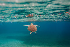 Green sea  turtle swimming  in Caribbean Royalty Free Stock Image