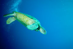 Green sea turtle swimming Royalty Free Stock Images