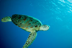 Green sea turtle swimming Stock Photography