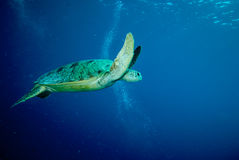 Green sea turtle swimming Stock Photos
