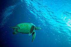 Green sea turtle swimming Stock Images