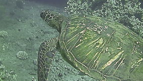 Green Sea Turtle swimming close to sea bed. Hawaii stock video footage