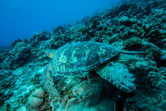 Green sea turtle swimming in Derawan, Kalimantan, Indonesia underwater photo Stock Image
