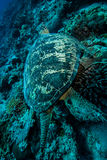 Green sea turtle swimming in Derawan, Kalimantan, Indonesia underwater photo Royalty Free Stock Photos