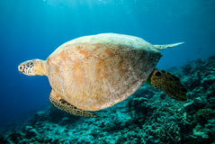 Green sea turtle swimming in Derawan, Kalimantan, Indonesia underwater photo Stock Images