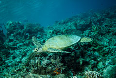 Green sea turtle swimming in Derawan, Kalimantan, Indonesia underwater photo Royalty Free Stock Photo