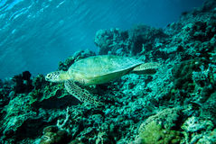 Green sea turtle swimming in Derawan, Kalimantan, Indonesia underwater photo Stock Photo