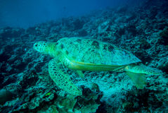 Green sea turtle swimming in Derawan, Kalimantan, Indonesia underwater photo Stock Photos