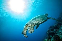 Green sea turtle swimming in Derawan, Kalimantan, Indonesia underwater photo Stock Image