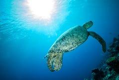 Green sea turtle swimming in Derawan, Kalimantan, Indonesia underwater photo Stock Images