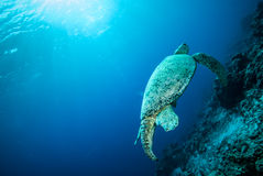 Green sea turtle swimming in Derawan, Kalimantan, Indonesia underwater photo Royalty Free Stock Photos
