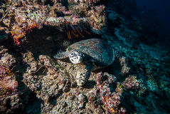 Green sea turtle swimming in Derawan, Kalimantan, Indonesia underwater photo Stock Photography
