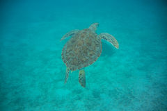 Green Sea Turtle Swimming. A green sea turtle glides through the waters of the Caribbean near St. John Royalty Free Stock Photos