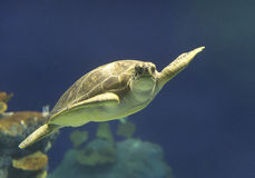 Green Sea Turtle swimming in Hawaii Stock Images