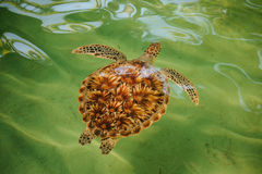 Green sea turtle swimming with head up Royalty Free Stock Photography