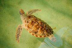 Green sea turtle swimming with head up Royalty Free Stock Images
