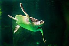 Green sea turtle swimming in a museum aquarium. Sea turtle swimming in a museum aquarium Stock Photos