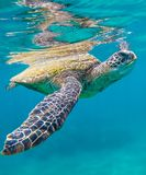 Green Sea Turtle Swimming in the Ocean in Maui Hawaii. This is a Photography Taked of a Green Sea Turtle Swimming in the Ocean in Maui Hawaii stock image