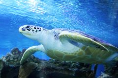 Green Sea Turtle swimming in ocean Royalty Free Stock Photo