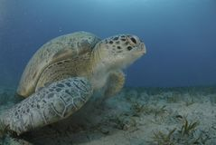 Green sea turtle swimming over seagrass bed. Royalty Free Stock Photography