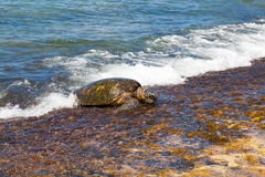 Green sea turtle swimming Stock Photo