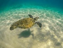 Green Sea Turtle Swimming with Shadow on the sand in Maui Hawaii royalty free stock photography
