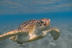 Green sea turtle swimming in the tropical sea close up stock photo