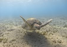 Green sea turtle swimming in the tropical sea royalty free stock image