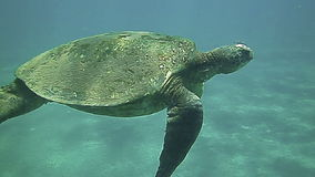 Green Sea Turtle swimming underwater in the blue stock video footage