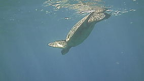 Green Sea Turtle swimming underwater in the blue stock video