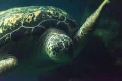 Green Sea Turtle Close up Royalty Free Stock Images