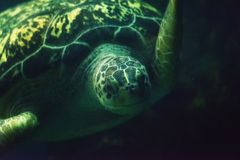Green sea turtle close up Royalty Free Stock Photos