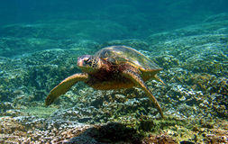 Free Green Sea Turtle Swimming Underwater In Hawaii Stock Images - 13310294