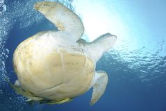 Green sea turtle swimming up to the surface. Royalty Free Stock Photos