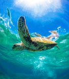 Green Sea Turtle Swimming in the Warm and Blue Ocean Water in Maui, Hawaii stock image