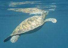 Green sea turtle swims to the surface to breath air, stock photography