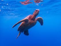 Green Sea Turtle Swims to Surface to Breathe in Blue Water. Green sea turtle swims to surface of ocean to breathe against blue background stock images
