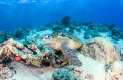 Green Sea Turtle on a tropical reef Stock Photos